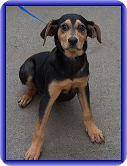 Black and Tan Coonhound/Hound (Unknown Type) Mix Puppy for adoption in Windham, New Hampshire - Trevor (In New England)