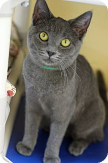 Russian Blue Cat for adoption in Tinton Falls, New Jersey - Emmy