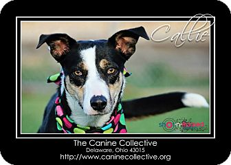 Collie Mix Dog for adoption in Delaware, Ohio - Callie