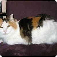Adopt A Pet :: Megan (Chatty Cat!) - Portland, OR