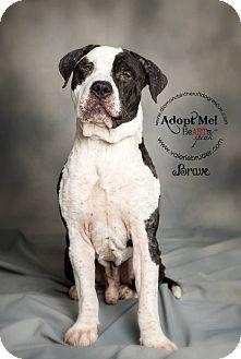 Mastiff Mix Dog for adoption in Philadelphia, Pennsylvania - Brave