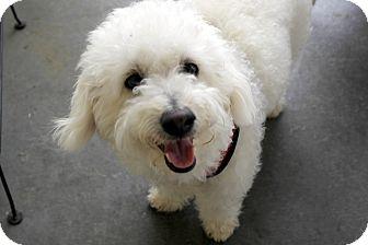 Bichon Frise/Poodle (Miniature) Mix Dog for adoption in Winnetka, California - HARVEY