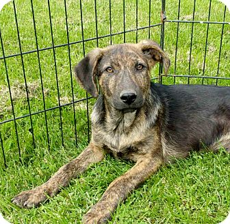 German Shepherd Dog Mix Puppy for adoption in Liberty Center, Ohio - Charlie