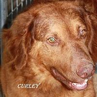 Adopt A Pet :: Curley - Lone Oak, TX