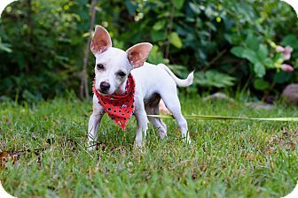 Chihuahua Mix Puppy for adoption in Olympia, Washington - Barbie