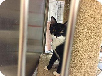 Domestic Shorthair Kitten for adoption in Addison, Texas - Velcro
