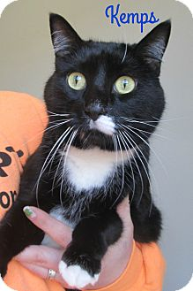 Domestic Shorthair Cat for adoption in Menomonie, Wisconsin - Kemps