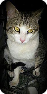 Domestic Shorthair Cat for adoption in Sumter, South Carolina - Dixon