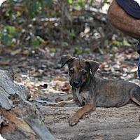 Adopt A Pet :: Rena - South Dennis, MA