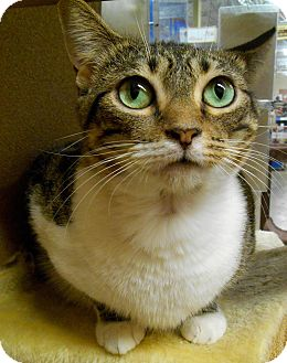 Domestic Shorthair Cat for adoption in Chattanooga, Tennessee - Eliza