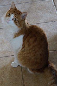 Domestic Mediumhair Cat for adoption in Rosemead, California - Stimpy