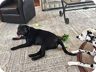 Labrador Retriever Mix Dog for adoption in Meridian, Idaho - Karlee