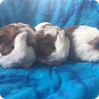Adopt A Pet :: Judge - Steger, IL