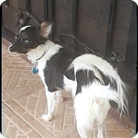Adopt A Pet :: GiGI - Palm Bay, FL