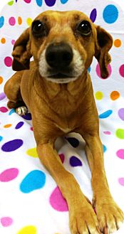 Chihuahua/Dachshund Mix Dog for adoption in Watauga, Texas - Dallas