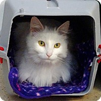 Domestic Longhair Cat for adoption in Belleville, Michigan - Minnie