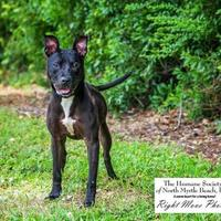 Adopt A Pet :: Cloda - North Myrtle Beach, SC