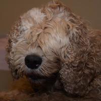 Adopt A Pet :: Brad - Las Cruces, NM