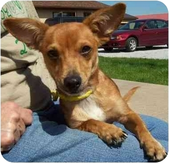 Dachshund Dog for adoption in North Judson, Indiana - Chuckles