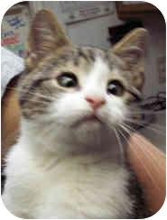 Domestic Shorthair Kitten for adoption in Milton, Massachusetts - Hamlet