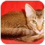 Photo 3 - Abyssinian Cat for adoption in San Diego, California - Venus