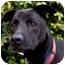 Photo 3 - Labrador Retriever/Shepherd (Unknown Type) Mix Dog for adoption in Los Angeles, California - Puma