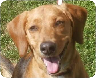 Beagle/Redbone Coonhound Mix Dog for adoption in Freeport, Maine - Clover - In Maine!