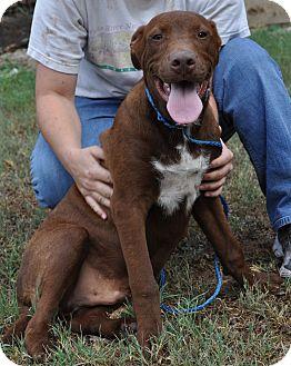 Labrador Retriever/Great Dane Mix Puppy for adoption in Pocahontas, Arkansas - Snickers