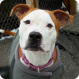American Pit Bull Terrier Mix Dog for adoption in Carmel, New York - Christine