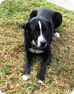 Labrador Retriever/Border Collie Mix Dog for adoption in Homestead, Florida - Dinky - Frances