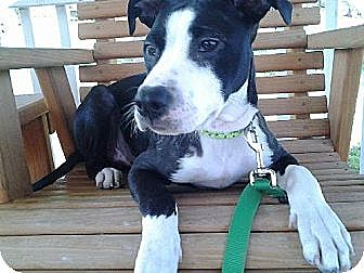 Staffordshire Bull Terrier Mix Dog for adoption in Ponca City, Oklahoma - Dancer