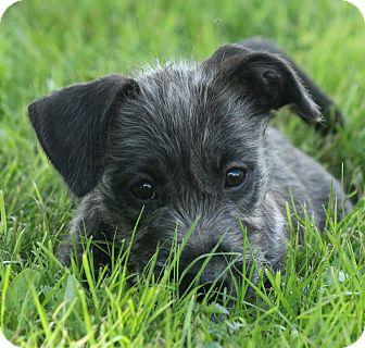 Schnauzer (Miniature)/Cairn Terrier Mix Puppy for adoption in Pennigton, New Jersey - Lola
