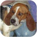Basset Hound Dog for adoption in Murphysboro, Illinois - Dale