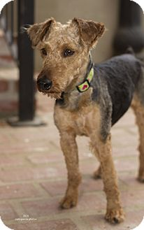 Welsh Terrier Mix Dog for adoption in Baton Rouge, Louisiana - Willow