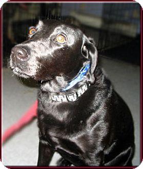 Labrador Retriever Dog for adoption in Kirkland, Quebec - Mica