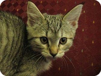 Domestic Shorthair Kitten for adoption in Lloydminster, Alberta - Kitt