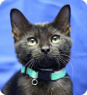 Domestic Shorthair Cat for adoption in Winston-Salem, North Carolina - Jenny