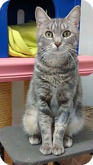 Domestic Shorthair Cat for adoption in Springfield, Vermont - Margo