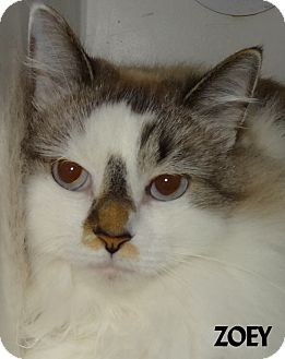 Ragdoll Cat for adoption in Lapeer, Michigan - ZOEY--FEE WAIVED! BEAUTY!