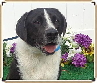 Border Collie/Labrador Retriever Mix Dog for adoption in Marietta, Georgia - DAKOTA - adopted @ off-site