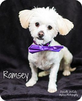 Maltese Mix Dog for adoption in Canyon Country, California - Ramsey