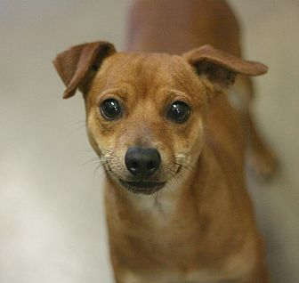 Terrier (Unknown Type, Small)/Chihuahua Mix Dog for adoption in Canoga Park, California - Andy