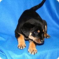 Adopt A Pet :: Blitzen - Erwin, TN