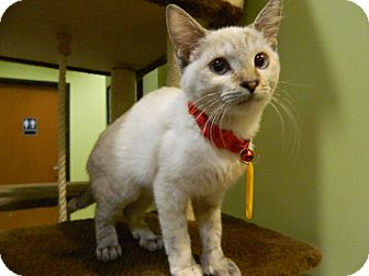 Polydactyl/Hemingway Kitten for adoption in The Colony, Texas - Capri
