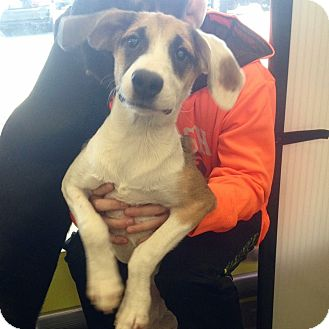 Shepherd (Unknown Type) Mix Puppy for adoption in Pompton Lakes, New Jersey - Maya
