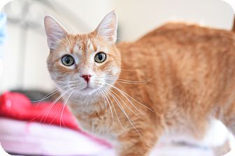Domestic Shorthair Cat for adoption in Xenia, Ohio - Landon