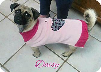 Pug Dog for adoption in House Springs, Missouri - Daisy