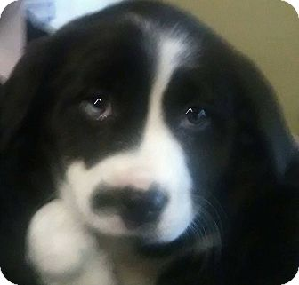 St. Bernard/Labrador Retriever Mix Puppy for adoption in Lima, Pennsylvania - Bear Bear