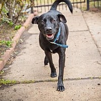 Labrador Retriever Mix Dog for adoption in Allentown, Pennsylvania - Roofus