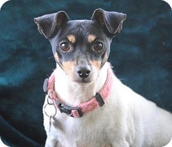 Rat Terrier Dog for adoption in Olivet, Michigan - Lucy